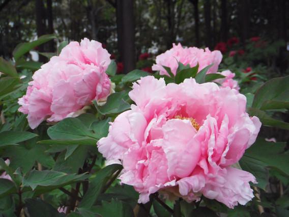 徳川園牡丹祭 紅茶茶会 @ 徳川園 | 名古屋市 | 愛知県 | 日本